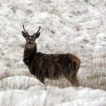A red deer in the hills of Donegal