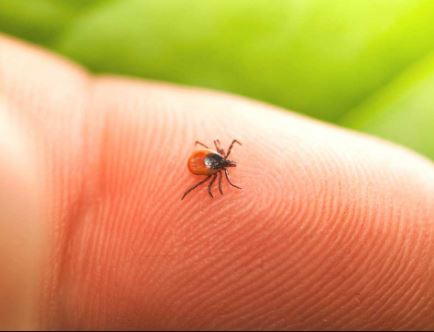 Ticks That Could Carry Lyme Disease Widespread In Grey Bruce